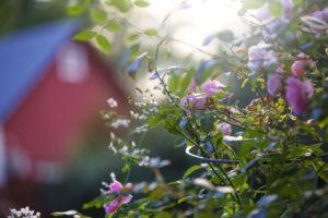Bild på blommor och i bakgrunden kan man se stallet